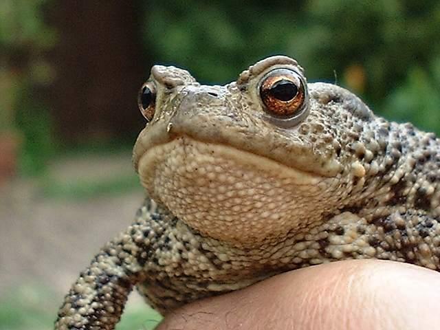 Toad9077rh