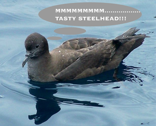 Sooty_shearwater2_ac_copy_2