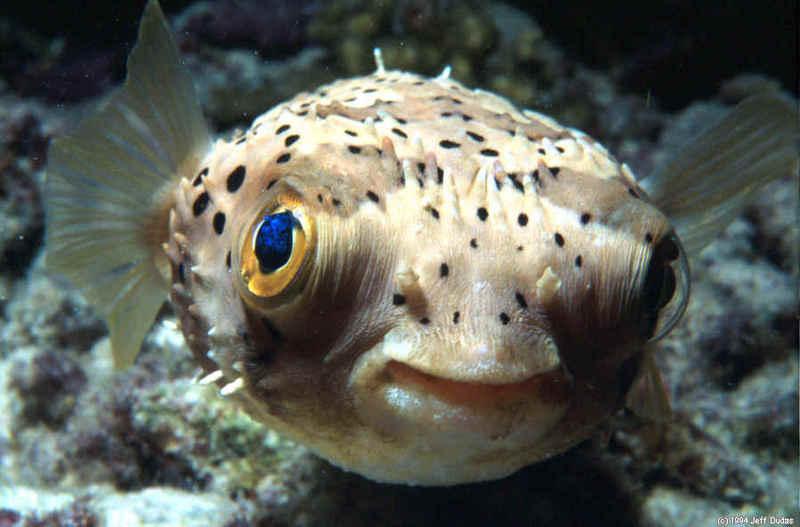 Pufferfish_2