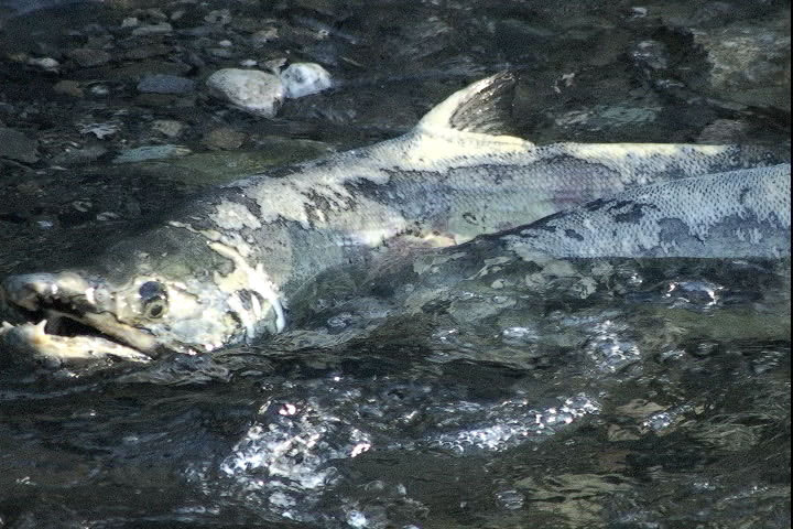 Oyster_creek_salmon_10x