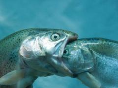 Eating_fish