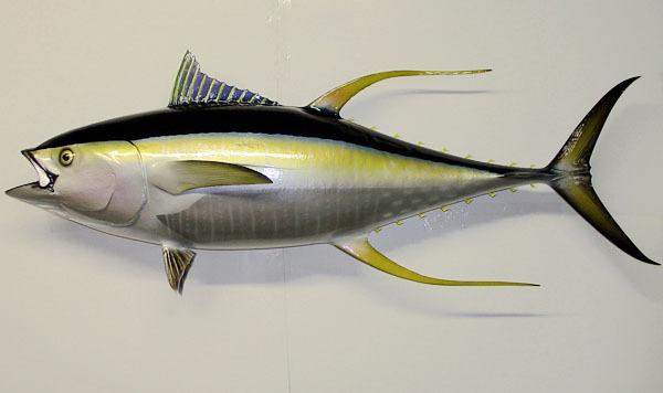Yellowfintuna5