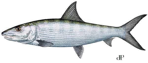 Lbf_bonefish