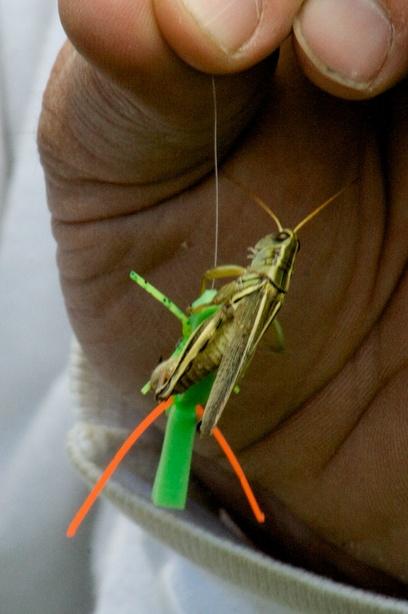 Grasshopper_fornication