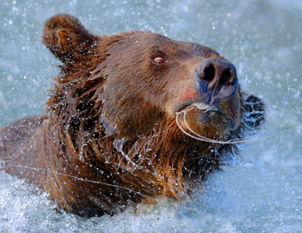 Bearfishing_5