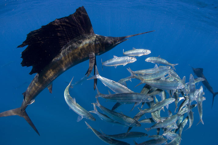 Sailfish_hunting