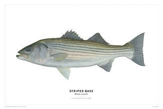 Stripe_bass_poster_feat